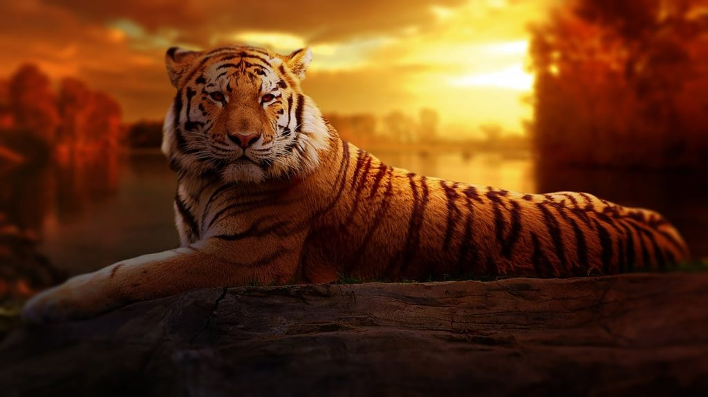 Tigre rouge