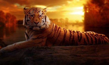 Baume du tigre, baume du tigre rouge et baume du tigre blanc : une (re) montée en puissance en 2018, que nous réserve la suite ?